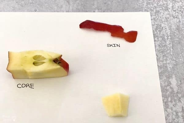 Parts of an Apple Skin