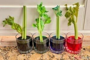Celery Experiment 24 Hours