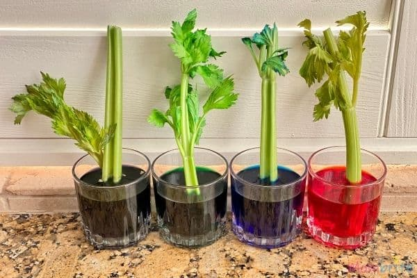 Celery Experiment 24 Hours