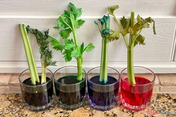 Celery Experiment 48 Hours