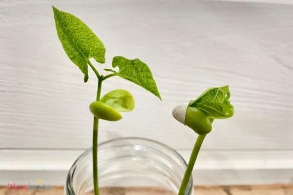 Growing Seeds in Cotton Balls Grow Leaves 1