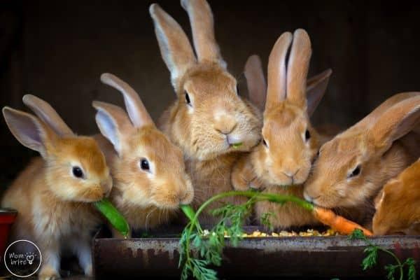 Life Cycle of Rabbit