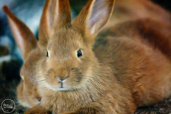 Rabbit Life Cycle Adult Rabbit