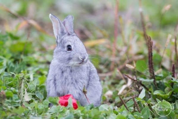 Rabbit Life Cycle Young Rabbit