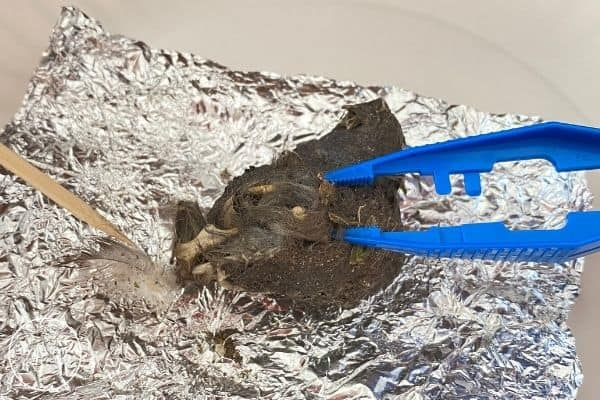 Owl Pellet Dissection Opened Pellet