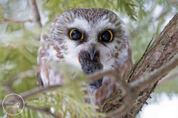 Owl Regurgitating Pellet